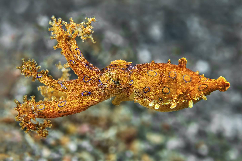 Blue ringed octopus - Wakatobi