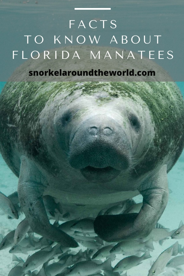 Florida manatees fact