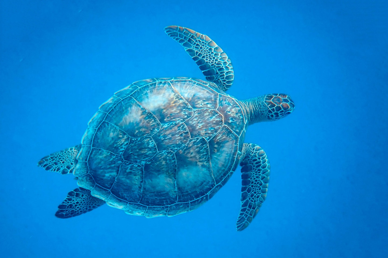Punta Arenas Green Beach - Turtle