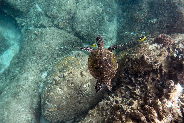Sea turtle - Melones beach - Culebra
