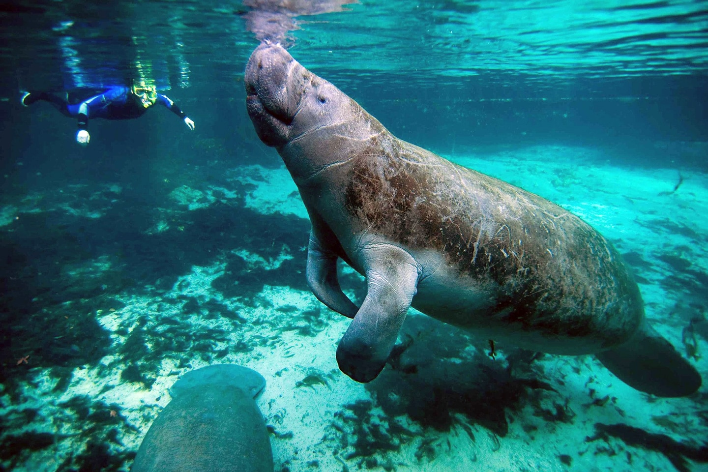 man is snorkeling with manatees