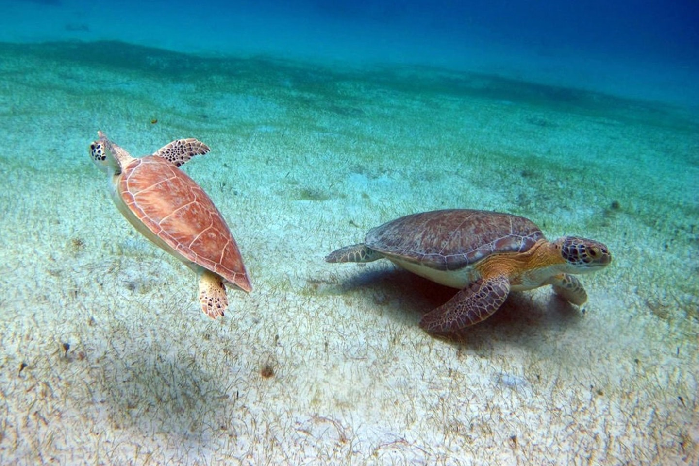 Turtles at Buck Island - Saint Thomas