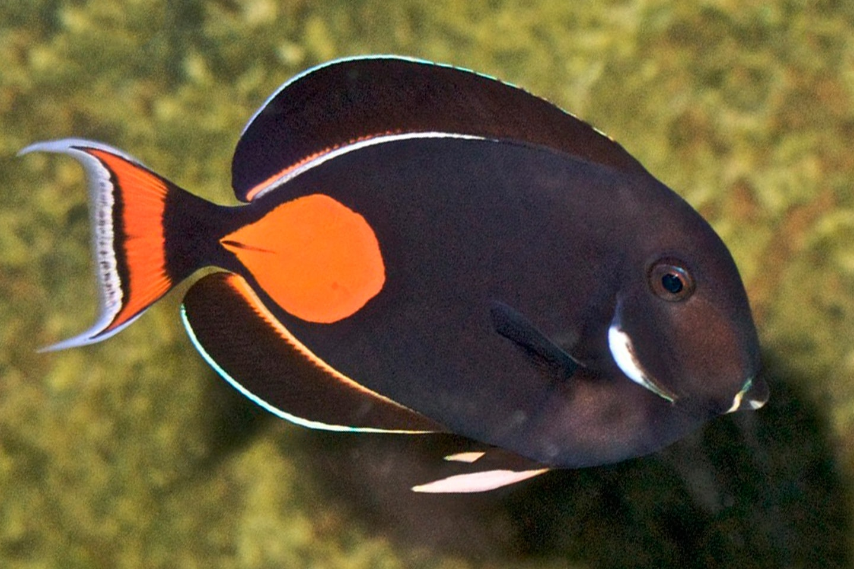 Achilles tang fish