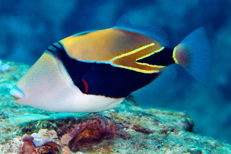 Reef Triggerfish - Humuhumunukunukuapuaa