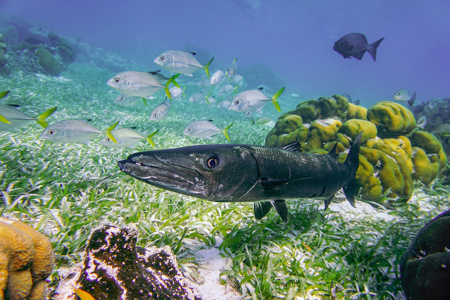 Barracuda and reef fish at the reef in Belize