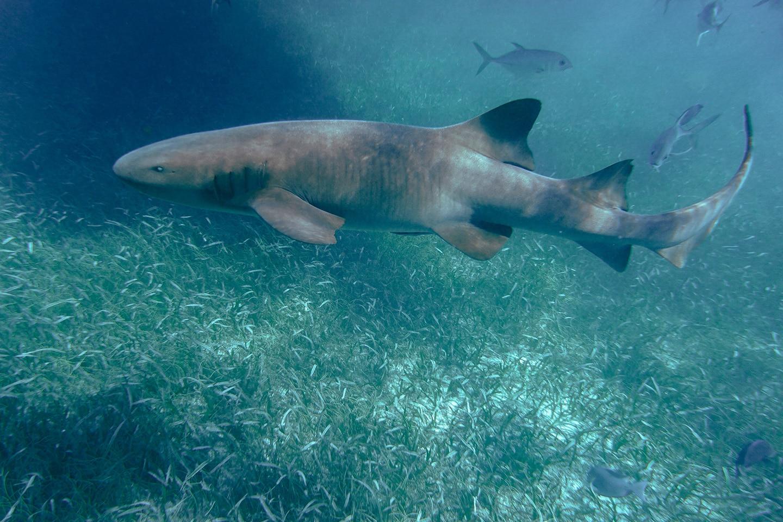 Nurse shark Belize