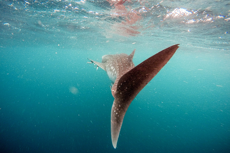 Whale shark in Belize