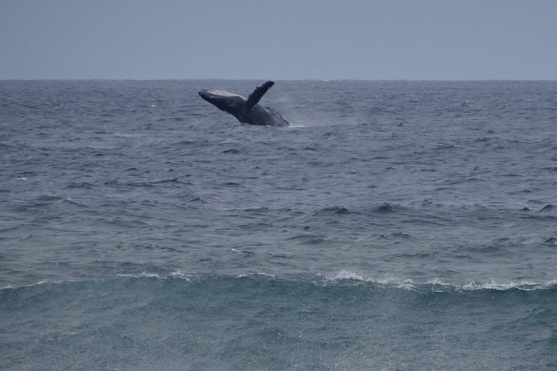 Humpback whale near Molokai