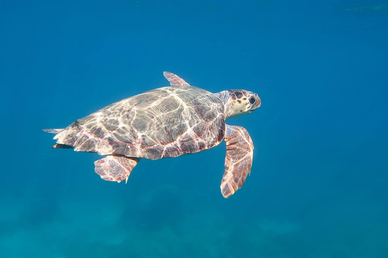Caretta turtle Dafni beach