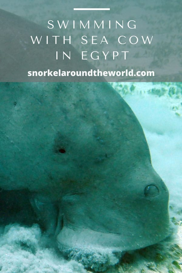 sea cow in egypt