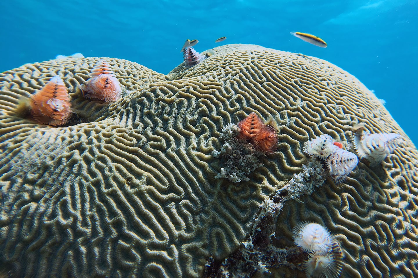 Christmas tree worms on brain coral