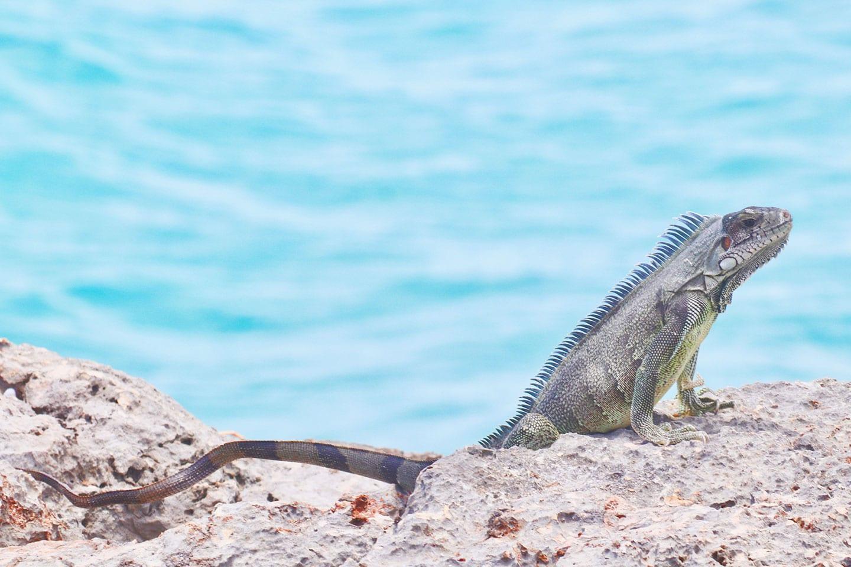 Iguana in Anguilla