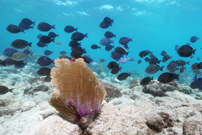 Shoal of Blue Tangs Anguilla