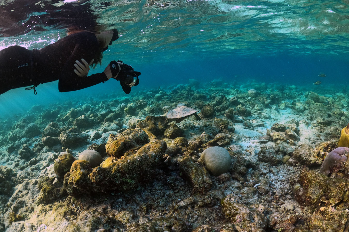 Snorkeler is taking photos of a turtle